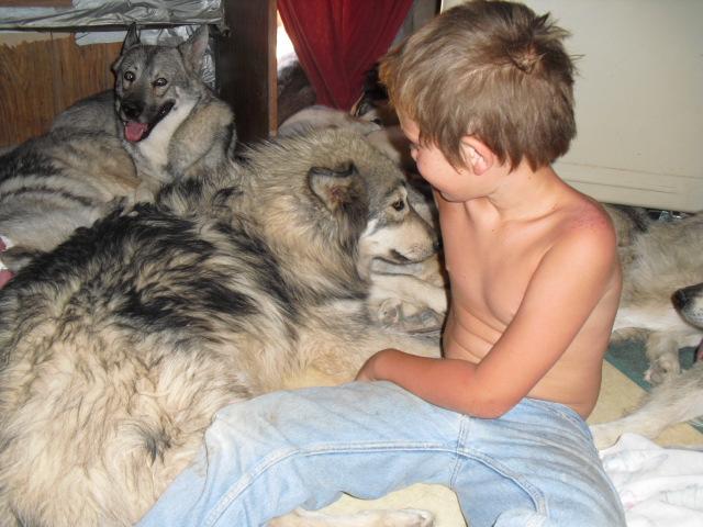Wolf rare wolf breeding exotic cubs feline wolf wolf dog feline breeds
